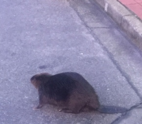 Beaver Gives Zero F*cks in West Vancouver, Twitter Explodes