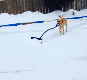 Helpful Dog Shovels Snow in Guelph, Ontario