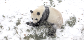 Winter Sucks, So Here's a Panda Rolling in the Snow to Warm Your Hearts
