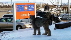 Lynx Goes to the Post Office, Is Cat-Called by Ontario Woman
